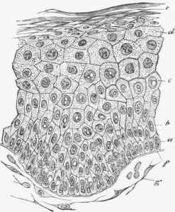 Section-of-the-epiderm-of-the-prepuce-showing-the-superimpos